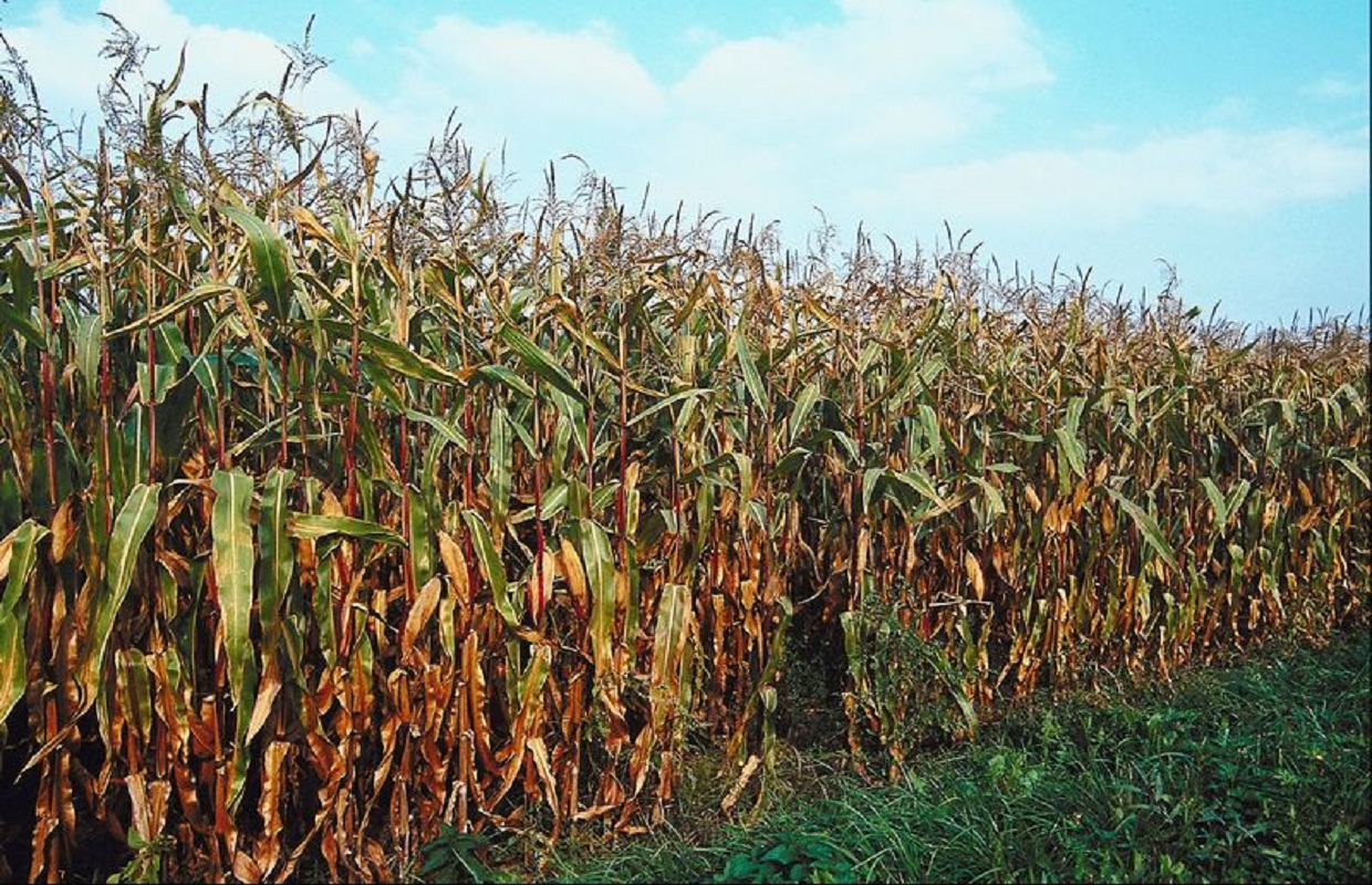 Illinois to Have Less Corn Acreage, More Beans