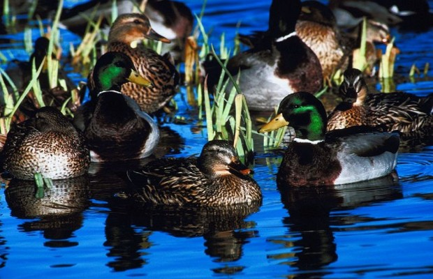 IDNR Proposes 60 Day Duck Hunting Season