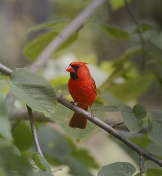 illinois state bird commemorated on u s postage newsradio 1240